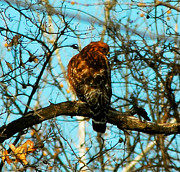 Red Tail Hawk Photo Photos - Red Tail Hawk Visitor by Peggy  Franz