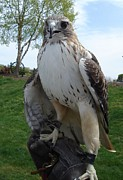 Red Tail Hawk Photo Posters - Red Tail Poster by Michelle Milano