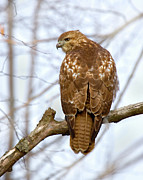 Red Tail Hawk Art - Red Tail Pose by Timothy McIntyre