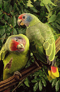 Two Animals Framed Prints - Red-tailed Amazon Amazona Brasiliensis Framed Print by Claus Meyer