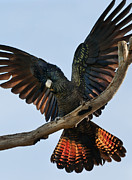 Nikon D90 Prints - Red Tailed Black Cockatoo Print by Heather Thorning