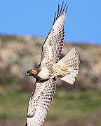 Red Tailed Hawk - 20100101-8 Print by Wingsdomain Art and Photography
