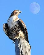 Bif Metal Prints - Red Tailed Hawk and Moon Metal Print by Wingsdomain Art and Photography