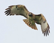 Red-tailed Hawk Posters - Red Tailed Hawk Finds Its Prey Poster by Wingsdomain Art and Photography