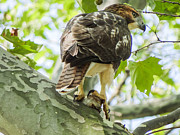 Jeff Landau - Red Tailed Hawk From The...