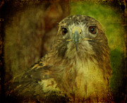 Textured Bird Posters - Red-tailed Hawk II Poster by Sandy Keeton