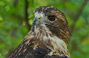 Hawk Art Prints - Red-tailed Hawk III Print by Sandy Keeton