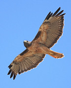 Red-tailed Hawk Posters - Red Tailed Hawk in flight Poster by Wingsdomain Art and Photography