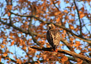 Minuteman Art - Red Tailed Hawk in Oak Foliage by John Burk
