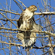 Metamora Metal Prints - Red Tailed Hawk in Winter Metal Print by Rodney Campbell