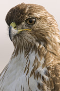 Palo Alto Prints - Red Tailed Hawk Juvenile Stevens Creek Print by Sebastian Kennerknecht