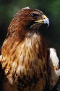 Red Tail Hawk Art - Red Tailed Hawk by Natural Selection Ralph Curtin