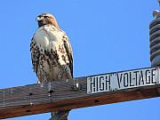 Flying Hawk Prints - Red Tailed Hawk on High Voltage Print by Wingsdomain Art and Photography