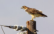 Telephone Pole Prints - Red Tailed Hawk Perched Print by Robert Frederick