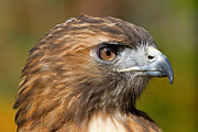 David Freuthal Posters - Red-tailed hawk portrait Poster by David Freuthal