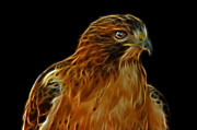Fractalius Digital Art Framed Prints - Red-Tailed Hawk Framed Print by Sandy Keeton