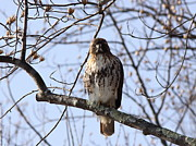 Red Tail Hawk Photographs Posters - Red-tailed Hawk - Silent but Deadly Poster by Travis Truelove