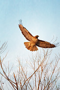 Bare Tree Posters - Red-tailed Hawk Takes Flight At Sunset Poster by Susan Gary