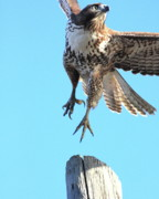 Flying Hawk Prints - Red Tailed Hawk Taking Off . 40D10170 Print by Wingsdomain Art and Photography