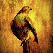 Flying Hawk Prints - Red Tailed Hawk . texture . square . 40D10167 Print by Wingsdomain Art and Photography