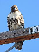 Flying Hawk Prints - Red Tailed Hawk . What You Lookin At Print by Wingsdomain Art and Photography