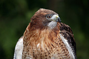 Wildcat Photography - Red-Tailed Hawk