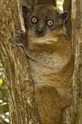 Madagascar National Park Framed Prints - Red-tailed Sportive Lemur Lepilemur Framed Print by Pete Oxford