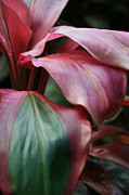 I Fiori Posters - Red Ti - Cordyline terminalis Poster by Sharon Mau