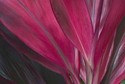 Cordyline Framed Prints - Red Ti Framed Print by Greg Vaughn