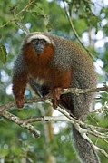 Amazonian Rainforest Prints - Red Titi Monkey Print by Tony Camacho
