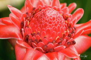 Torch Photos - Red Torch Ginger by Scott Pellegrin