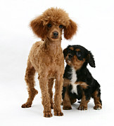Toy Dog Posters - Red Toy Poodle And Cavalier King Poster by Mark Taylor