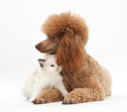 Domestic Animal Photos - Red Toy Poodle And Kitten by Mark Taylor
