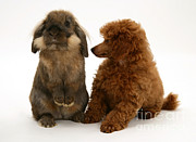 Toy Dog Posters - Red Toy Poodle Pup With A Lionhead Poster by Mark Taylor