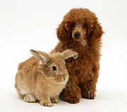 Toy Dog Posters - Red Toy Poodle Pup With Lionhead-cross Poster by Mark Taylor