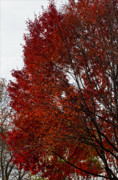 Fall Leaves Photos - Red Tree by Robert Ullmann