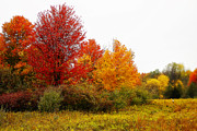 Fall Colors Autumn Colors Posters - Red Tree Poster by Scott Hovind