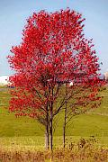 Red Autumn Posters - Red Tree Poster by Shera Hastings