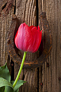Horse Shoe Framed Prints - Red Tulip And Horseshoe  Framed Print by Garry Gay