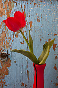 Dew Prints - Red Tulip Bending Print by Garry Gay