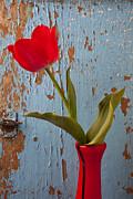 Red Tulip Bending Print by Garry Gay