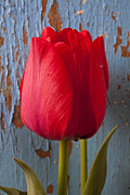 Blue Walls Framed Prints - Red Tulip Framed Print by Garry Gay