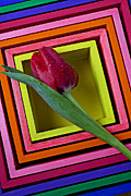 Colorful Leaves Prints - Red Tulip In Box Print by Garry Gay