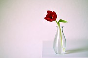 White Glass Posters - Red Tulip In Glass Vase Poster by Photo by Ira Heuvelman-Dobrolyubova