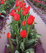 Photos With Red Metal Prints - Red Tulip Row Metal Print by Kami McKeon