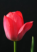 Red Tulip Print by Steve Augustin