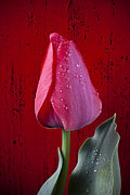 Red Leaf Posters - Red tulip with dew Poster by Garry Gay