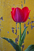 Peel Posters - Red tulip with yellow wall Poster by Garry Gay