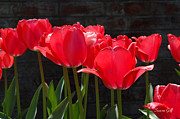 Backlit Tulip Photos - Red Tulips - Essence of Springtime I by Suzanne Gaff