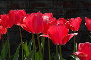 Backlit Digital Art Prints - Red Tulips - Essence of Springtime II Print by Suzanne Gaff